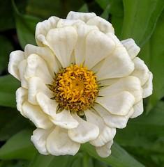 Greenish-white Zinnia (Pat's Pics36) Tags: nikond7000 nikkor18to200mmvrlens usa washington semiahmoo packersresort zinnia greenishwhite