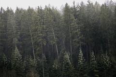 Burglind (tobias-eger) Tags: burglind storm hurricane thunder wether blackforest forrest rain sturm nature natur regen schwarzwald