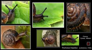 trochulus hispidus4