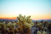Cholla Gardens Sunset (danielle0337) Tags: joshuatree cactus cacti nationalpark california losangeles chollacactusgardens joshuatreenationalpark sunset sunsetchaser sunsetlover nikon dslr photography naturephotography sunsets sunrise