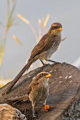 IMG_3258 Yellow-billed Shrike, Gambia 04_11_2017 (Sugar Beet Pete) Tags: nature gambia bird shrike yellowbilledshrike