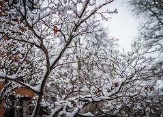 8040 (1 of 1) (sallyjane6) Tags: snow snowyday newlife buds winter bedford holly macro closeup
