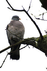 """woodpidgeon • <a style=""""font-size:0.8em;"""" href=""""http://www.flickr.com/photos/157241634@N04/38230239155/"""" target=""""_blank"""">View on Flickr</a>"""