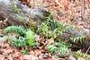Christmas fern (Polystichum acrostichoides) at Lake Meyer Park IA 854A2428 (lreis_naturalist) Tags: christmas fern polystichum acrostichoides lake meyer park winneshiek county iowa larry reis