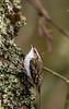 Tree Creeper 03-Dec-17 M_021 (gomo.images) Tags: 2017 angus bird country nature scotland treecreeper years