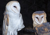 Barn Owls (Jim Frazier) Tags: 2017 20170204owlwalk animals barnowl birds center closeup february flash forest il illinois jimfraziercom natural nature owls portrait southbarrington stillmannaturecenter strobes study trees tripod winter woodland woods barn owl jfpblog fastpictures f10q4 q4 f10