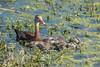 Duck and Ducklings (ap0013) Tags: duck duckling ducklings circle b bar reserve lakeland florida circleb barreserve lakelandflorida baby fl fla nature wildlife animal