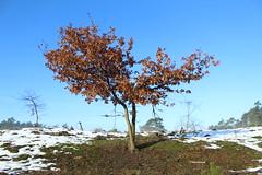 Lonely tree (lijntje1612) Tags: kootwijkerzand veluwe