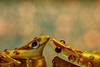 Two frogs (Millie Cruz *Catching up slowly!) Tags: memberschoicebokeh macromondays macro frogs glass beads logs