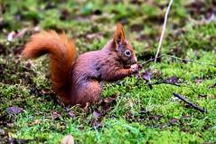 Eating (Flemming Andersen) Tags: eating red egern squrriel wildlife nature animal