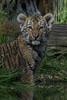 Kleiner Schmuddeltiger (marionB-fotografie) Tags: tier tiere animal animals raubtier raubkatzen tiger amurtiger katze groskatzen sibirischertiger zooleipzig cat cats