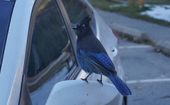 Roadtrip encounters (beyondhue) Tags: stellers jay cyanocitta stelleri bird blue beyondhue car mirror bc roadtrip transcanada fall snow rockies feathers sitting