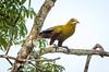 IMG_7583 (jaglazier) Tags: 121717 2017 capok copyright2017jamesaglazier december deciduoustrees ecuador napowildlifepreserve naturepreserves orellana trees animals birds oropendola parks orellanaprovince