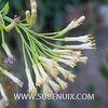 Kleinia neriifolia-4 (SUBENUIX) Tags: altressuculentes kleinianeriifolia suculentas subenuix subenuixcom planta suculent suculenta botanic botanical