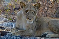 intense Eyes of a  Lioness..... (cirdantravels (Fons Buts)) Tags: panthera leo felidae carnivora carnivore bigcat felid lion lioness leeuw leeuwin löwe kafue kaingusafarilodge feliformia ngc