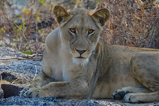 intense Eyes of a  Lioness.....