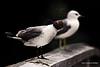Low-Key (Susanne Weber) Tags: gull möwe möwen gulls tier animal natur outdoor
