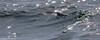 Glidetime (Mike Brebner) Tags: blue petrel stormy nz new zealand northland birds coastal sea bird ocean water karikari peninsular rangiputa north northern karikaripeninsula peninsula pacific newzealand december 2017