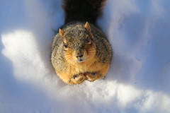 Squirrels in Ann Arbor on Yet Another Cold and Snowy Winter's Day at the University of Michigan (January 5th, 2018) (cseeman) Tags: gobluesquirrels squirrels annarbor michigan animal campus universityofmichigan umsquirrels01052018 winter eating peanut januaryumsquirrel umsquirrel snowsquirrels snow snowy cold ice