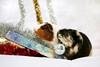 Flynn et Titi (Mariie76) Tags: animaux cochons dinde mignons rongeurs petits noël fêtes fin dannée guirlandes boules décorations roux blanc noir beige