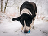 the important business continues, despite the weather!-3 (grahamrobb888) Tags: nikon nikond800 d800 nikkor nikkor20mmf18 winter white woods wideangle cold snow snowwoods birnamwood birnam perthshire scotland quiet tranquil zac dog pet ball blue fun furry busy whatido