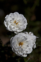 Twins (dleany) Tags: 70200mmf28l 5dmkii white rose twins