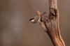 Marsh Tit (Colin Rigney) Tags: wildlife nature colinrigney hungary hortobagy hungarianwildlife canon avian outside outdoors wings marshtit tits