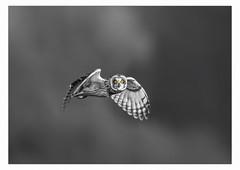 Short Eared Owl (Asio Flammeus). (Zero-Six-Four Images (Dave McCulley)) Tags: shortearedowl asioflammeus bird raptor birdofprey blackandwhite selectivecolour eyes hunting nature outdoors wildlife liverpool merseyside sefton