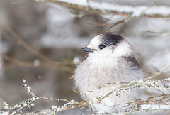 Grey Jay Perch (maureen.elliott) Tags: bird greyjay wildlife nature algonquinpark perch branch