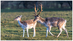 Fallow deer (Happy snappy nature) Tags: nature wildlife shropshire outdoors