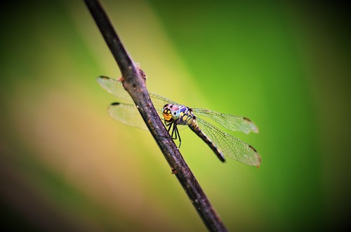 Perching dragonfly