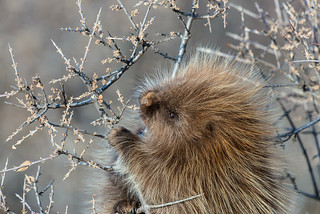 1712_0733 Porcupine