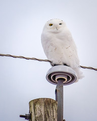 One-Eyed Snowy Owl (PopsDigital) Tags: bird birds wings wing billpevlor popsdigital white owl snowyowl oneeyed perched perch feathers wisconsin color colour vertical portrait insulator powerpole yelloweye sonyslta77v