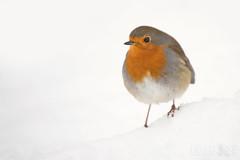 Robin (Ben Locke.) Tags: robin snow bird birds wild wildlife nature