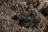 Crematogaster sp. 2017.10.14_6 (carmen chase) Tags: fotomacrografía macrofotografía macro crematogaster hormiga ant acrobat acróbata