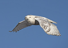Birds Eye View (Stephen Flint) Tags: snowyowl