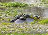 Living on an (Hippo) island :-) (jaffles) Tags: southafrica südafrika krügernationalpark kruger np wildlife safari natur nature olympus beautiful