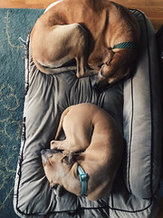 350/365 (moke076) Tags: 2017 365 project 365project project365 oneaday photoaday vsco vscocam iphone cell cellphone mobile dogs animals pet moose great dane fawn pitbull pittie pibble terrier bed single one laying down curled up friends buddies same color beaux