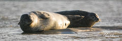 Phoque 1 (beardman626) Tags: phoque phoques seal seals sony a77 500mm mirroir mirror f63 mer manche berck sea sable sand water eau sieste farniente npdc haut de france lens objectif