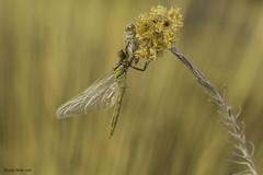 My dedication to Flickr for Christmas (Ricardo Menor) Tags: odonatos anisópteros dragonfly dragonflies libélulas emergencias elcoto elcoto2016 2016 airelibre iluminaciónnatural
