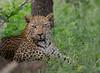 Impressive eyes (jaffles) Tags: southafrica südafrika krügernationalpark kruger np wildlife safari natur nature beautiful olympus