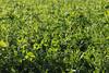 CKuchem-2134 (christine_kuchem) Tags: acker ackerrand agrarlandschaft biene bienenfreund bienenweide blühstreifen blüte boden bodenverbesserung dünger düngung eiweis eiweiserbsen erbsen feld felder grün gründünger insekten klee kulturlandschaft landwirtschaft lupinen mischung nahrung nektar phacelia pisumspec ramtillkraut sommer verbesserung winter winterroggen bio biologisch blau lila naturnah natürlich