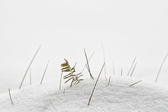 'Microscape' (Canadapt) Tags: winter grass snow pine minimal keefer canadapt