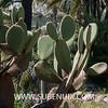 Opuntia durangensis-3 (SUBENUIX) Tags: cactaceaeopuntias opuntiadurangensis suculentas subenuix subenuixcom planta suculent suculenta botanic botanical