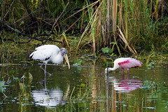 Roseate Spoonbills (c) 2017 Dr Lester Shalloway all rights reserved; at Loop Road