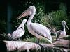 Pelikanen (Roelofs fotografie) Tags: wilfred roelofs nikon d5600 nature neterlands zoo dutch dierentuin dierenpark amersfoort 2017 outdoor bird birds animals animal tree green grass white picture fotgrafie