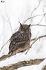 ''Joyeuse fête à tous!'' Grand-duc-Great Horned Owl (pascaleforest) Tags: hibou owl oiseau bird animal passion nikon nature wild wildlife faune québec canada winter hiver snow neige nationalgeographic arbre wood