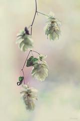 (Mijn natuurfoto's) Tags: humuluslupulus hop dreaming adifferentreality flower flowershot creative creatief fotografie macrofotografie macrophotography 50mm deirdre deirdremoments canon7dmarkii