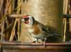 Encore du tournesol pour le réveillon! (zogt2000 (No Video)) Tags: oiseau bird chardonneret
