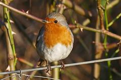 Robin (eric robb niven) Tags: ericrobbniven scotland dundee fife wildlife wildbird robin springwatch